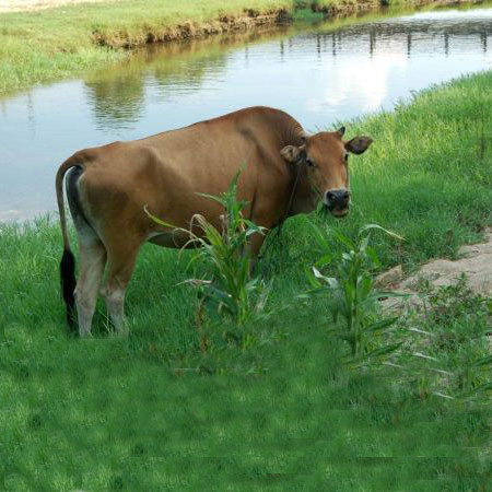 How to raise cows correctly?