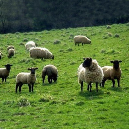 How to shear wool for sheep?