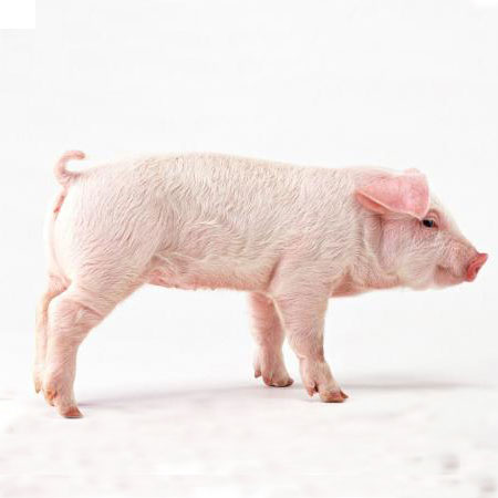 Why cut the tail of the piglet?