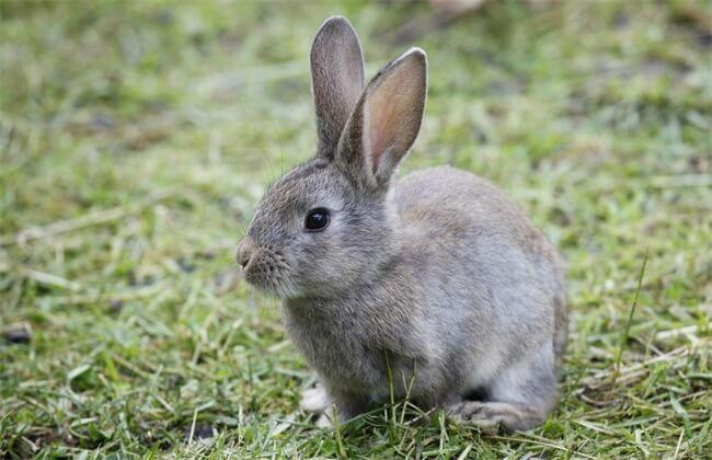 Common disease in rabbits