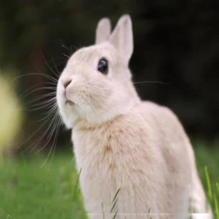 What should we pay attention to in the process of breeding meat rabbits?