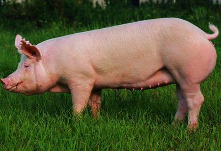 Advantages and disadvantages of artificial insemination of pigs